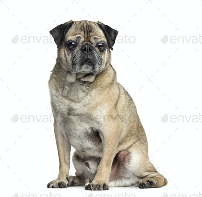 Old Pug sitting, 9 years old, isolated on white