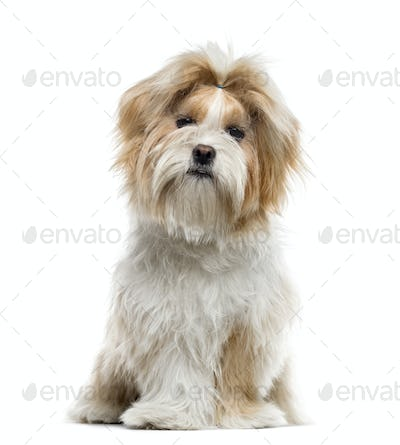 Shih Tzu sitting, isolated on white, 7 months old