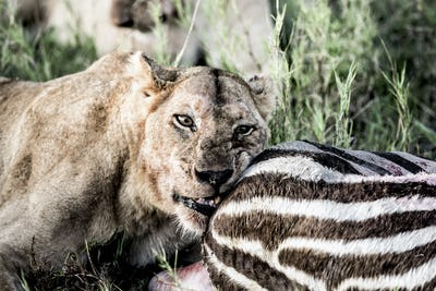 Female lion eating zebra in Serengeti National Park