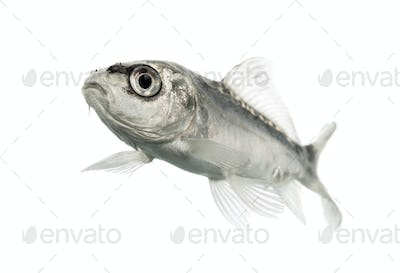 grey koi isolated on white