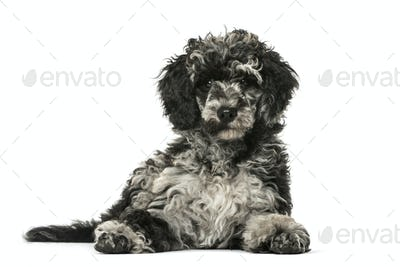 Puppy Poodle lying, 13 weeks old, isolated on white