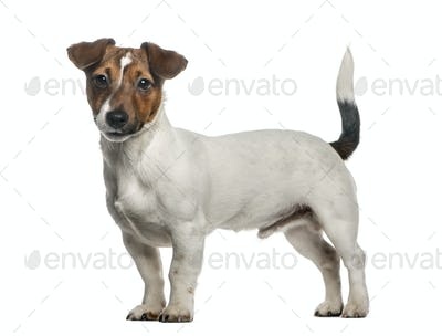 Jack Russell Terrier standing, isolated on white