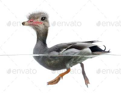 Mallard floating on the water, Anas platyrhynchos, with face of an ostrich against white background