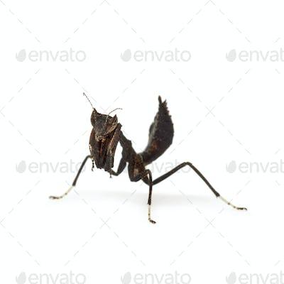 dead leaf mantises - Acanthops Sp -