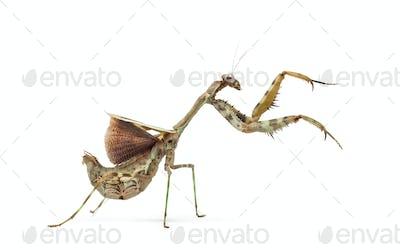 female Parasphendale affinis