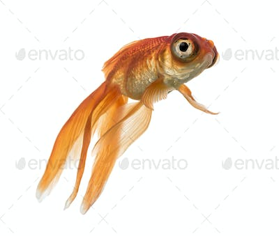 Side view of a Goldfish in water, looking up