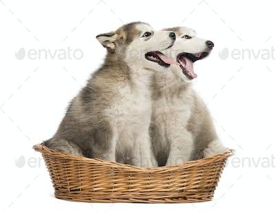 Alaskan Malamute puppies mouth open sitting in a basket