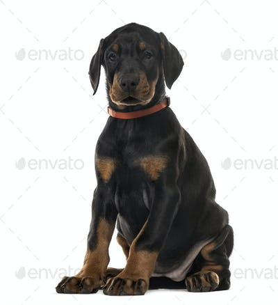 Puppy chocolate Doberman Pinscher sitting,(7 weeks old, isolated on white