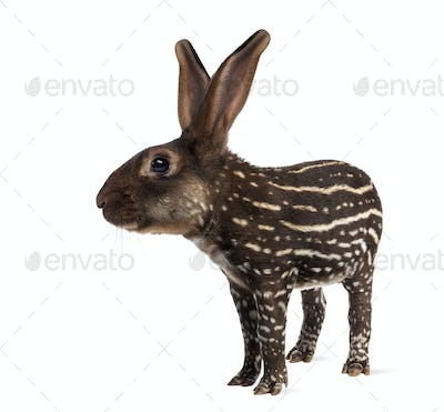 Belgian Hare with body of a tapir against white background