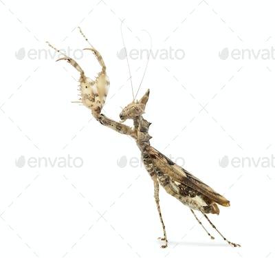 Female praying mantis, Ceratomantis saussurii, isolated on white