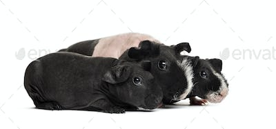 Mother and babies hairless guinea pigs, isolated on white