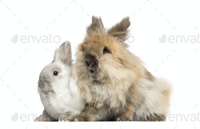 Dwarf rabbits, 2 years old, isolated on white
