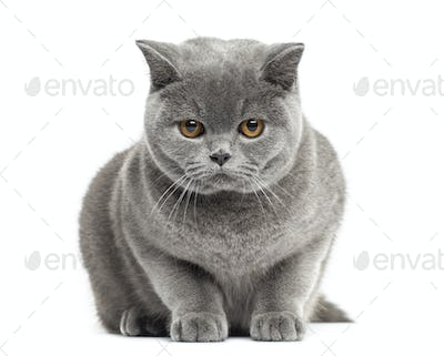 Front view of a British Shorthair,7 months old, isolated on white