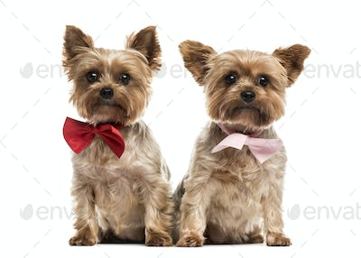 Two yorkshire with bow tie sitting, isolated on white
