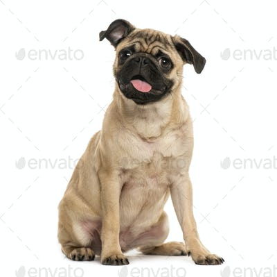 Pug puppy sitting, 6 months old, isolated on white