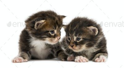 Maine coon kittens interacting isolated on white