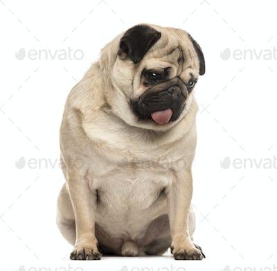 Pug sitting sticking the tongue, isolated on white