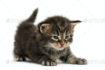 Maine coon kitten stretching isolated on white