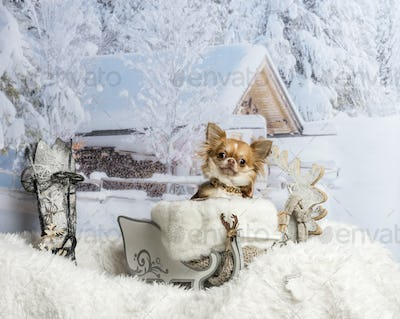 Chihuahua sitting in sleigh against winter scene