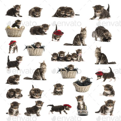 Set of Maine coon kitten isolated on white