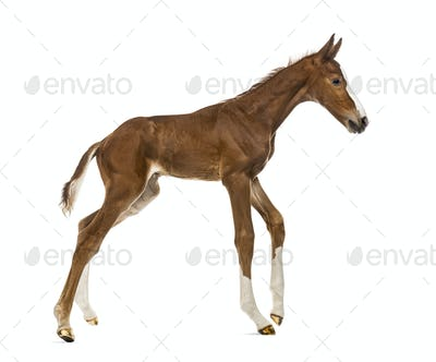 Foal trotting isolated on white