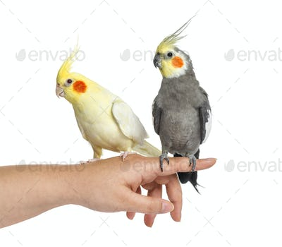 Two Cockatiel on human hand, isolated on white