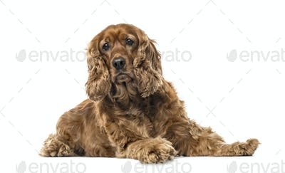 English Cocker Spaniel lying, 6 years old , isolated on white