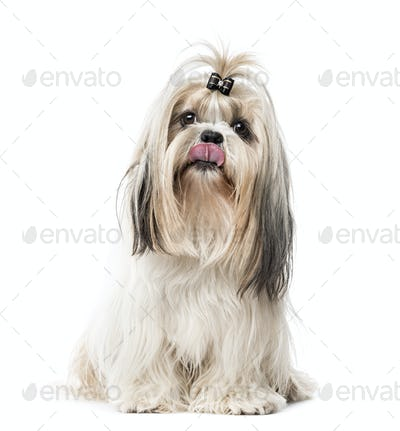 Maltese sitting and sticking the tongue, isolated on white