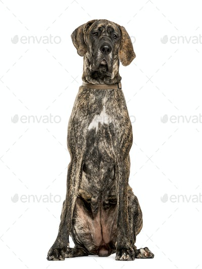 Great Dane sitting, isolated on white