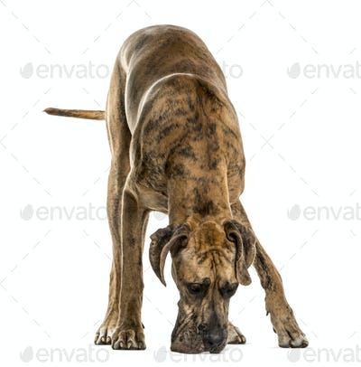 Great Dane smelling the ground, isolated on white