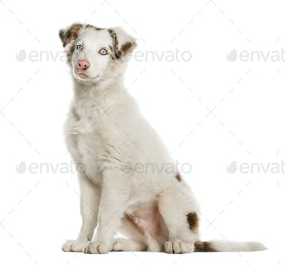 Border Collie puppy sittying, 4 months old, isolated on white