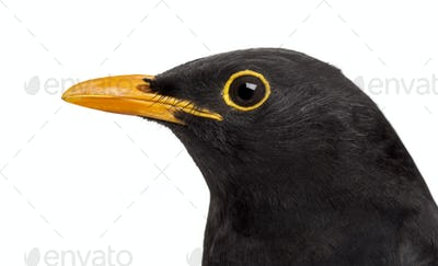 isolated close-up on a common blackbird