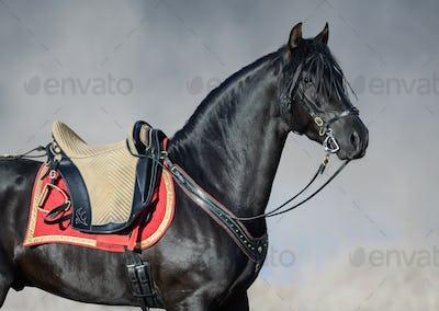 Portrait closeup of black Spanish horse with portudal saddle.