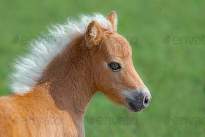 American Miniature Horse. Portrait close up of palomino foal.