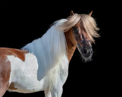 Portrait of skewbald American Miniature Horse.