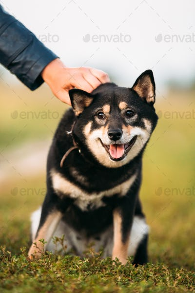 Beautiful Young Black And Tan Shiba Inu Dog Sitting Outdoor In G