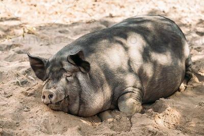 Household Pig Enjoys Relaxing In Dirt. Large Black Pig Resting I