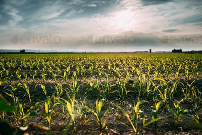 Cornfield Landscape. Plantation With Young Corn In Spring Season