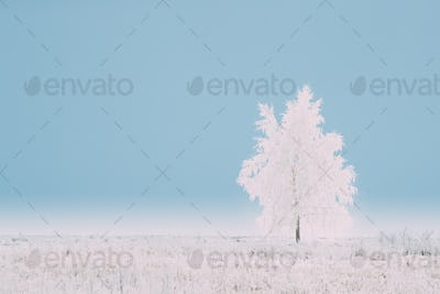 Lonely Tree In Snow-covered Field In Winter Frosty Day. Fluffy T