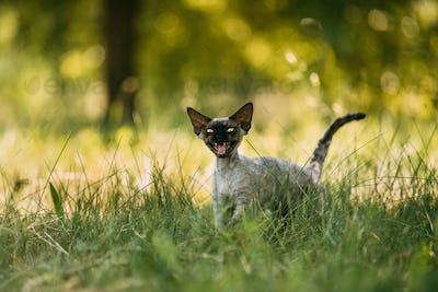 Funny Young Gray Devon Rex Kitten Meowing In Green Grass. Short-