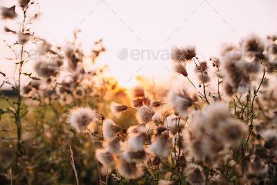 Sunshine Through Fluffy Carduus Flowering Plants During Summer S