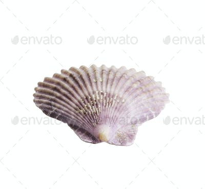 Scallop seashell isolated on white 1