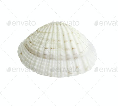 Scallop seashell isolated on white 6