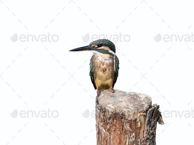 kingfisher standing isolated on white