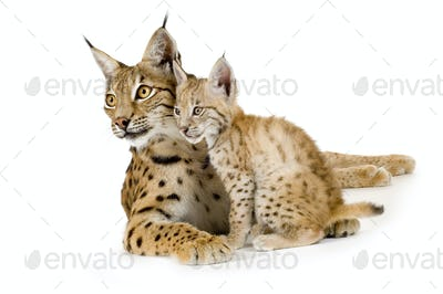 Lynx (2 years) and her cub (2 mounths)