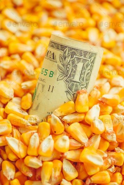 One US dollar bill in harvested corn kernels heap