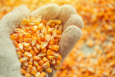 Handful of harvested corn kernels