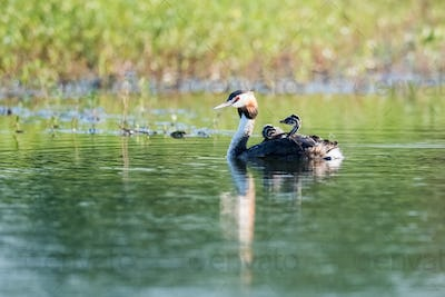 great crested grebe with juvenile on its back