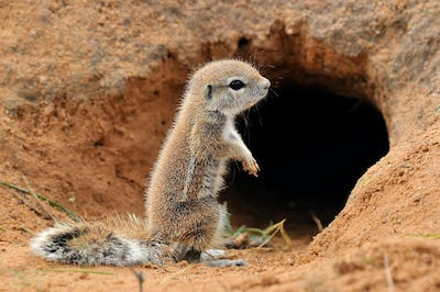 Cape Ground Squirrel in front of burrow