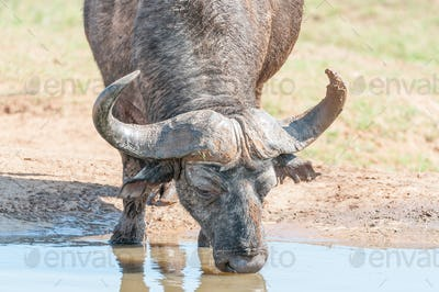 Cape Buffalo drinking